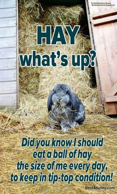 Hay, what's up? A rabbit should eat a ball of hay the size of their body every… Bunny Cages, Rabbit Cages, House Rabbit, Rabbit Life, Rabbit Food, Meat Rabbits, Raising Rabbits, Bunny Rabbits, Benny And Joon