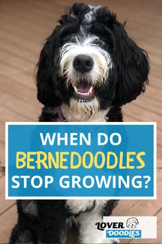 """You might be wondering """"When will my Bernedoodle stop growing?"""" Bernedoodles are NOT all the same, this will depend on their gender, parents, and nutrition! Find out how big your puppy might get! #Bernedoodle #BernedoodlePuppy #DoodlePuppy Bernedoodle Puppy, Cavapoo, Goldendoodle, Doodle Dog Breeds, You Doodle, Your Dog, Fun Facts, Gender, Parents"""