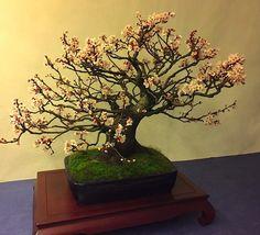 miyabi bonsai ten