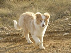 Light Blonde Border Collie Pup, so Good Lookin'! Red Border Collie, Border Collie Puppies, Collie Dog, Chihuahua Dogs, Pet Dogs, Dogs And Puppies, Teacup Chihuahua, Doggies, Cute Dogs Breeds