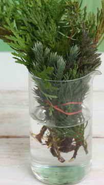 How to propagate coniferous plants by cuttings Outdoor Plants, Garden Plants, Evergreen Garden, Garden Solutions, Bonsai Art, Edible Garden, Trees And Shrubs, Plant Care, Growing Plants