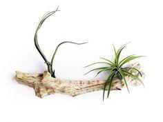 Si te gustan las plantas de interior que no te dan mucho trabajo la tillandsia es tu mejor elección. Muy de moda últimamente, Tillandsia es un género de plantas que crecen naturalmente sobre los ár…