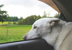 Sweet Linoux in the car. Polar Bear, Animal Pictures, Pets, Sweet, Car, Animals, Candy, Automobile, Images Of Animals