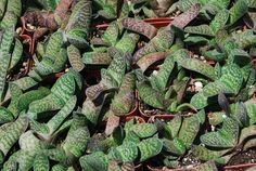 Succulents - Gasteria marmorata Gasteria hail from South Africa. Like other gasteria they need light shade to full sun. Water moderately in summer and keep dry in winter
