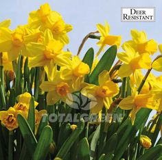 #Daffodils #Narcissi #Flowerbulbs #Landscaping #Trend #Landscape #Flowers #Colors #Colorful #Bulbs #Gardening #Garden #SpringGarden #Spring #FallPlanting
