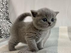 Y3 YOSHINO DOS AGUAS Cattery, British Shorthair, Cats, Animals, Gatos, Animales, Animaux, Animal, Cat