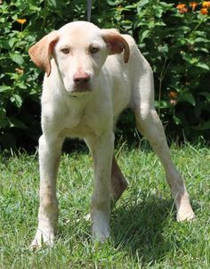 Meet Presley 23050, a Petfinder adoptable Yellow Labrador Retriever Dog | Prattville, AL | Presley is a 6-month-old male Yellow Lab mix. He is solid yellow, has gorgeous eyes, and is just a...