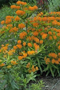 29 best perennials colour orange images on pinterest orange perennials johnstons evergreen nursery hummingbird garden flowers that attract butterflies butterfly weed mightylinksfo