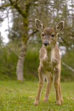 Baby Blacktail -Deer photo from  Cortes Island BC, Canada