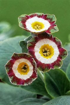 Description Show auricula flowers (Primula 'Astolat'). Unusual Flowers, Amazing Flowers, My Flower, Colorful Flowers, Flower Power, Beautiful Flowers, Beautiful Gorgeous, Green Flowers, Green Leaves