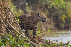 """Jaguars, which can be found in New Mexico and, sometimes, Texas as well as Mexico. """"They seem to be returning to the area,"""" said Tim Keitt, a University of Texas biology professor. """"This would certainly be the type of animal a fence would interfere with."""" Photo: Kathy Adams Clark / Kathy Adams Clark/KAC Productions"""