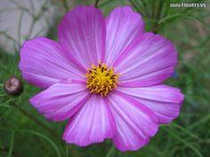 <b>flowers</b> for <b>flower</b> lovers.: <b>Cosmos</b> <b>flowers</b> wallpapers .