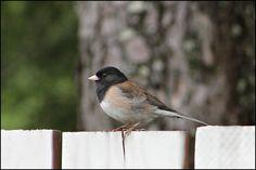"Sandra's Alaska Photographs: June 16, 2012: A Dark-Eyed Junco (aka ""Snowbird"") stopped by for visit today..."