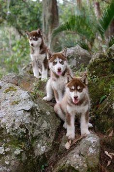 #huskies #redhusky #huskies
