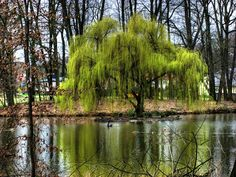 Weeping Willow Tree | Weeping_Willow_by_VivaStock