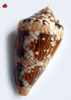 conus scottjordani cuyo islands sulu sea 2017 conchiglia conchiglie shells shell cypraea