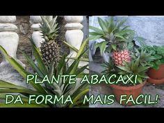Plantar abacaxi em casa
