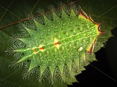 Here's a beauty of a caterpillar. The crowned slug displays its spines like the feathered headpiece of a Vegas showgirl. The stinging setae line the crowned slug.....William Fisher