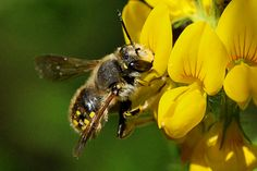 Wool carder bee photos. If you want to attract wool carders to your garden, one of the very best plants is lamb's ear, Stachys byzantina. It has both woolly fibers a... http://www.honeybeesuite.com/bees-that-attack-honey-bees