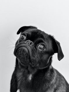 Pugs, Pug Puppies, Pet Dogs, Dog Cat, Dog Photos, Dog Pictures, Funny Photos, Animal Pictures, Penguin Pictures