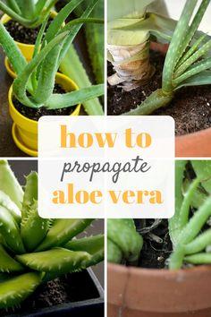 How to {Easily} Propagate Aloe Vera -