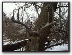Check out our EHD post here http://www.deerhuntingbigbucks.com/2013/04/08/deadly-disease-ehd-information/