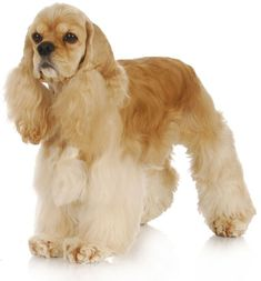 American #CockerSpaniel   Fun loving and affectionate and sensitive. Loves family life.