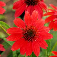 Sombrero Series Coneflowers features stunning, color-rich blooms. This collection is a group of brightly colored single-flower echinaceas that are well-branched and compact. They flower the first year. Plants in the series include 'Hot Coral', 'Salsa Red', and 'Sandy Yellow'.  Name: Sombrero series Echinacea purpurea  Growing Conditions: Full sun and well-drained soil  Size: 2 feet tall and wide  Zones: 5-9