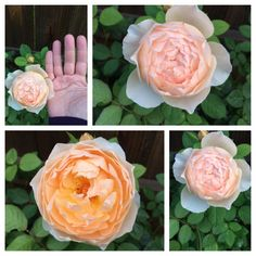Jude The Obscure™® - David Austin® English Roses - Roses - Heirloom Roses