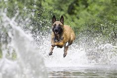 Walkin on water! #Belgian #Malinois