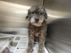 Meet+Puppa,+a+Petfinder+adoptable+Poodle+Dog+|+Pikeville,+KY+|+Thank+you+for+taking+the+time+to+view+a+pet+from+the+Pike+County+Animal+Shelter!++If+you+are...
