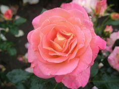 ~Hybrid Tea Rose 'Inspiration'