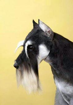 Schnauzer Schnauzer Breed, Schnauzer Grooming, Schnauzer Art, Standard Schnauzer, Giant Schnauzer, Miniature Schnauzer, Schnauzers, Dog Grooming Salons, Dog Grooming Business