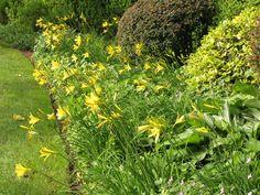 Rasenkante mit Taglilien