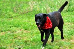Meet Charlie, an adoptable Black Labrador Retriever looking for a forever home. If you're looking for a new pet to adopt or want information on how to get involved with adoptable pets, Petfinder.com is a great resource.