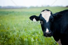 close-up image of a cow with number tag on ear. - Close-up shot of a cow with number tag on ear.