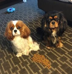We want a real dinner Mom. It's been a long day showing. Blenheim and Tricolor Cavalier King Charles Spaniel's