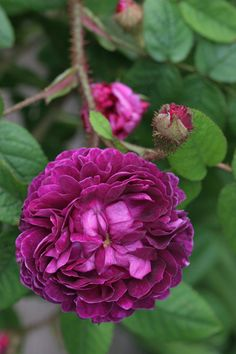 Rosa 'Capitaine John Ingram' (France, 1854)