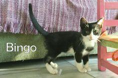 Bingo, gatito de 4meses en adopción. en Alacant - vibbo - 93312823