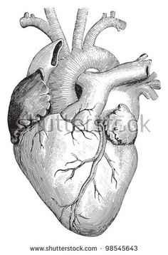 Human heart / vintage illustrations from Die Frau als Hausarztin 1911