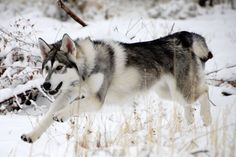 My future dog - Northern Inuit Dog - Word on the street is that they used these dogs to play the direwolves in season 1 of Game of Thrones