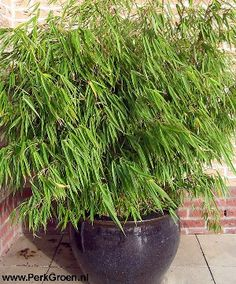 Bamboo in Pot -- I do not like Bamboo running rampart but like this in a pot, gorgeous!