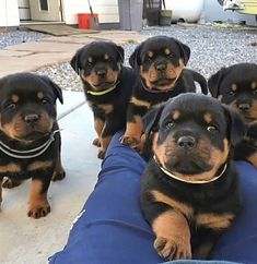 Dog Training Methods, Training Your Dog, Baby Dogs, Pet Dogs, Pets, Chihuahua Dogs, Paris Football, Cute Puppies, Dogs And Puppies