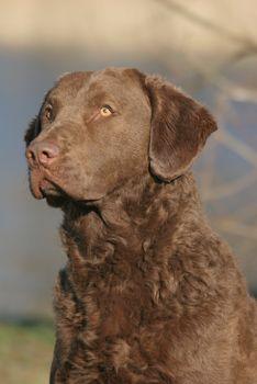 chesapeake bay retriever hunting | chesapeake bay retriever fokker - chesapeake breeder europe ...