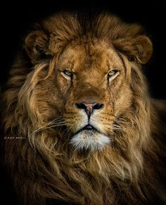 The Tiger by Paco Ancell on i love this foto, but last I heard this was a lion, not tiger. Lion Images, Lion Pictures, Animal Pictures, Beautiful Cats, Animals Beautiful, Animals And Pets, Cute Animals, Lion Photography, Gato Grande