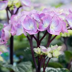 Hydrangea macrophylla Black Steel Blue - - Dobbies Garden Centres