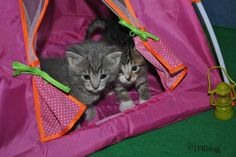 ~Tails from the Foster Kittens~: The First Rule of Kitten Club...