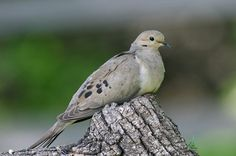 Mourning Dove:  A gentle and entertaining nester, the Mourning Dove raises as many as five broods each year! The whistling noise it emits when taking flight is made when the outer wing feathers beat the air. Get more information at birdsandblooms.com.