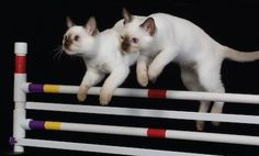 Cat Agility as Play Therapy... Yup that's happening @jessicakeller @beantaylor