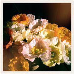 English Hedgerow poppies ♥